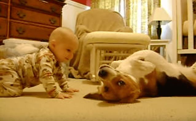 beagle-baby-1