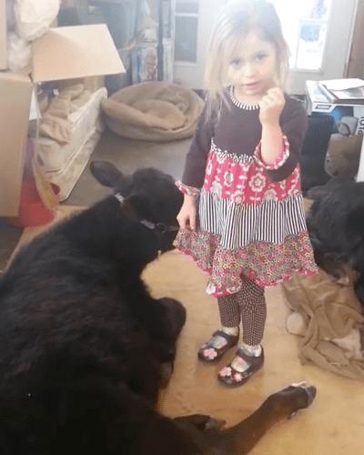 girl-baby-cow-3