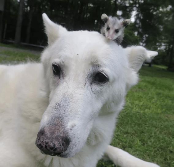 possum-rescue-2
