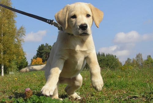 How-to-get-puppy-used-to-leash-and-collar