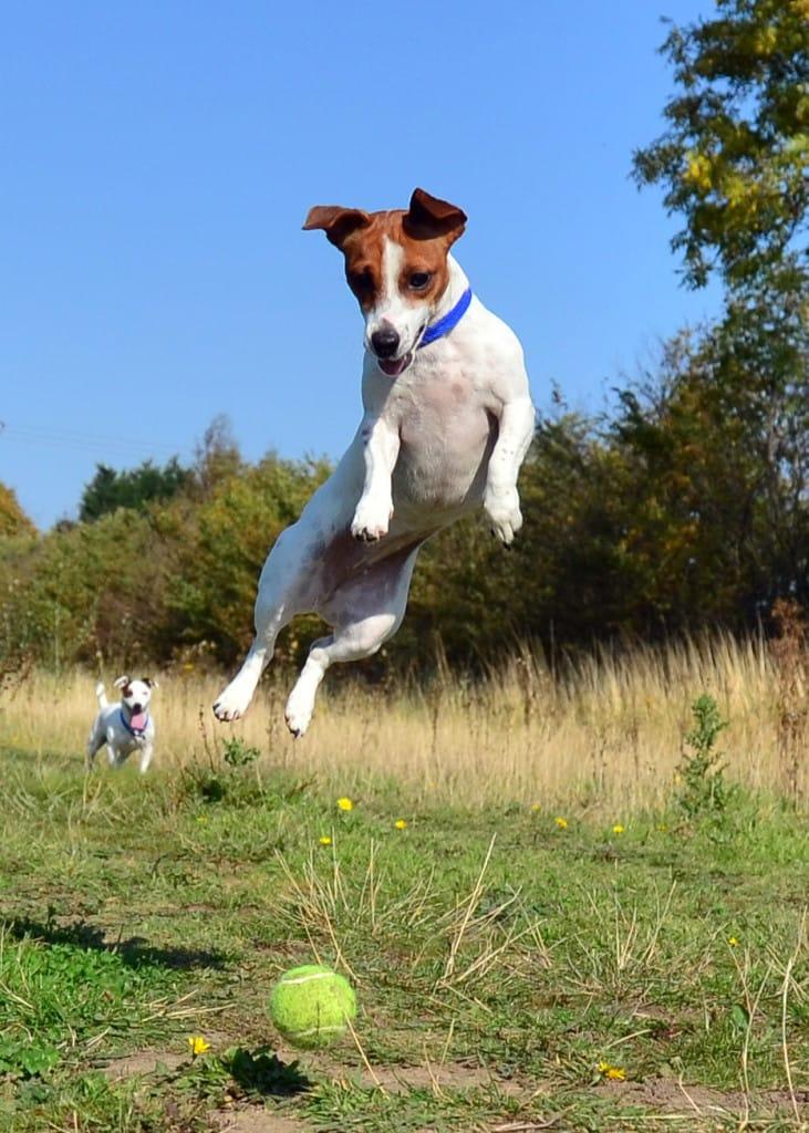 Jack_Russell_Terrier_Lola