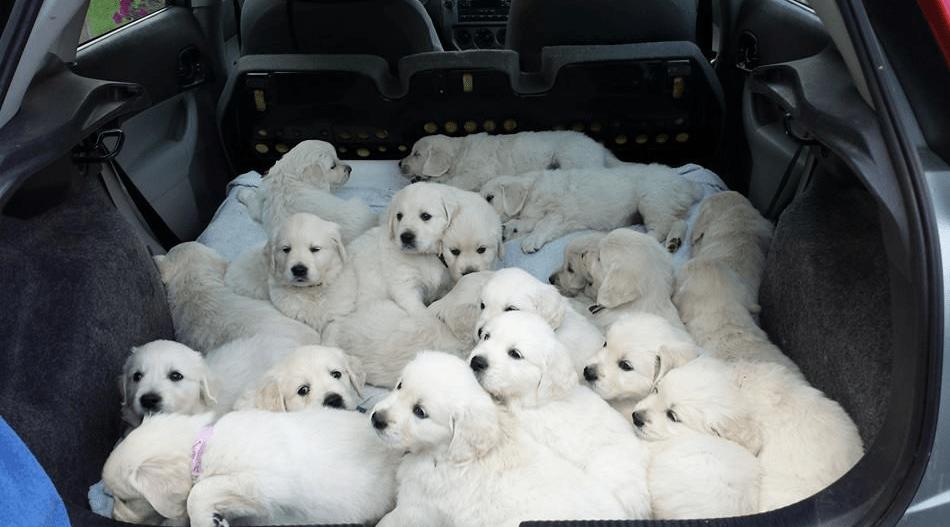 Le Golden est proche du Labrador