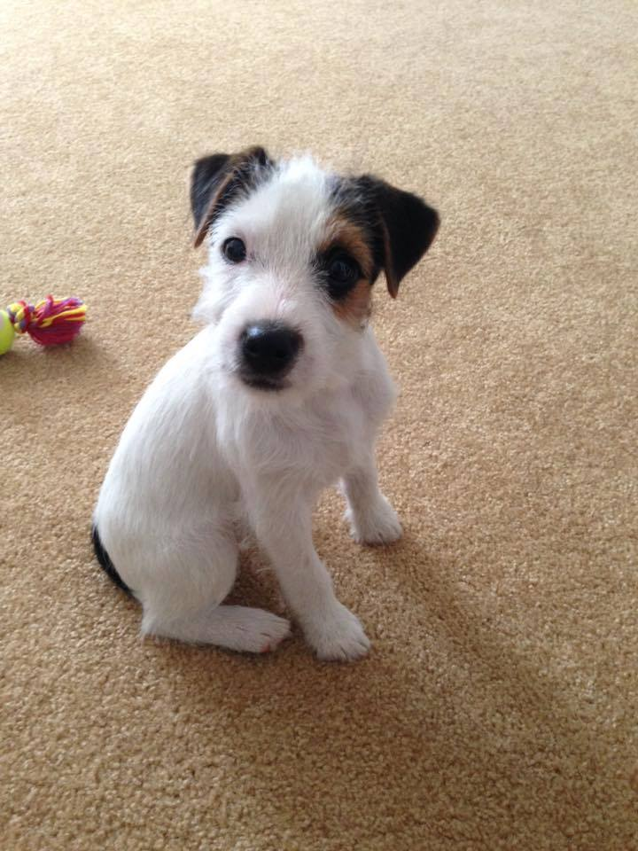 24 Reasons Why You Should Never Adopt A Jack Russell