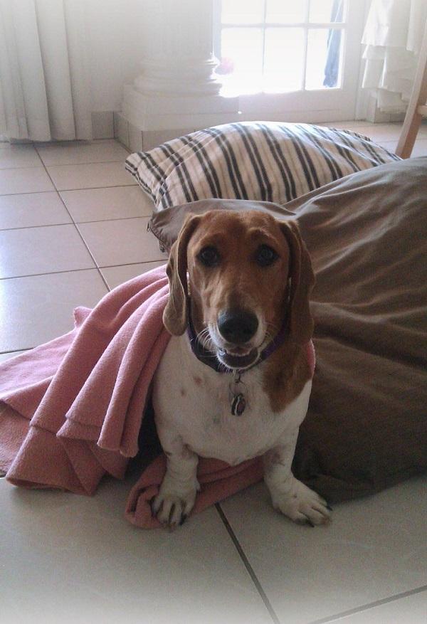 Basschshund
