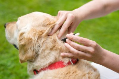 Flea-Treatment-for-Dogs