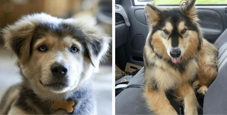 husky-retriever-mix-cute-cover