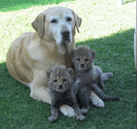 labrador-cheetah