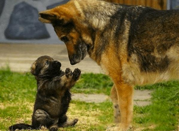 puppy-parents-10