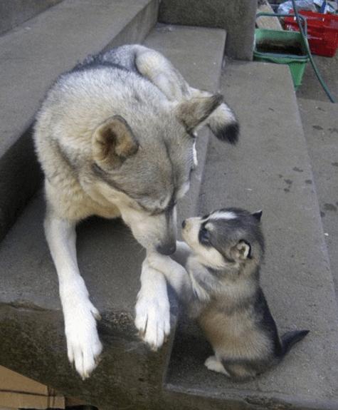 puppy-parents-5