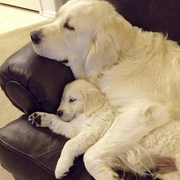 puppy-parents-7