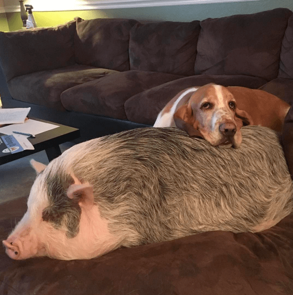 sausage-pig