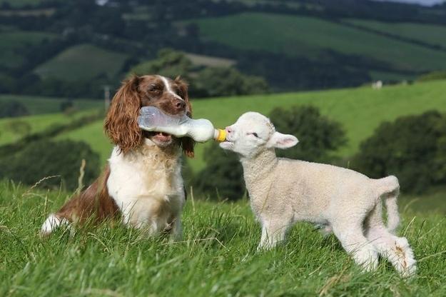 springer-lamb