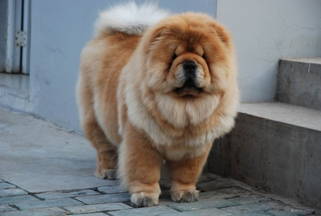Beautiful and cute Chow Chow picture (04)