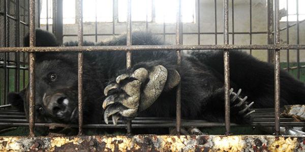 bear-bile-farm