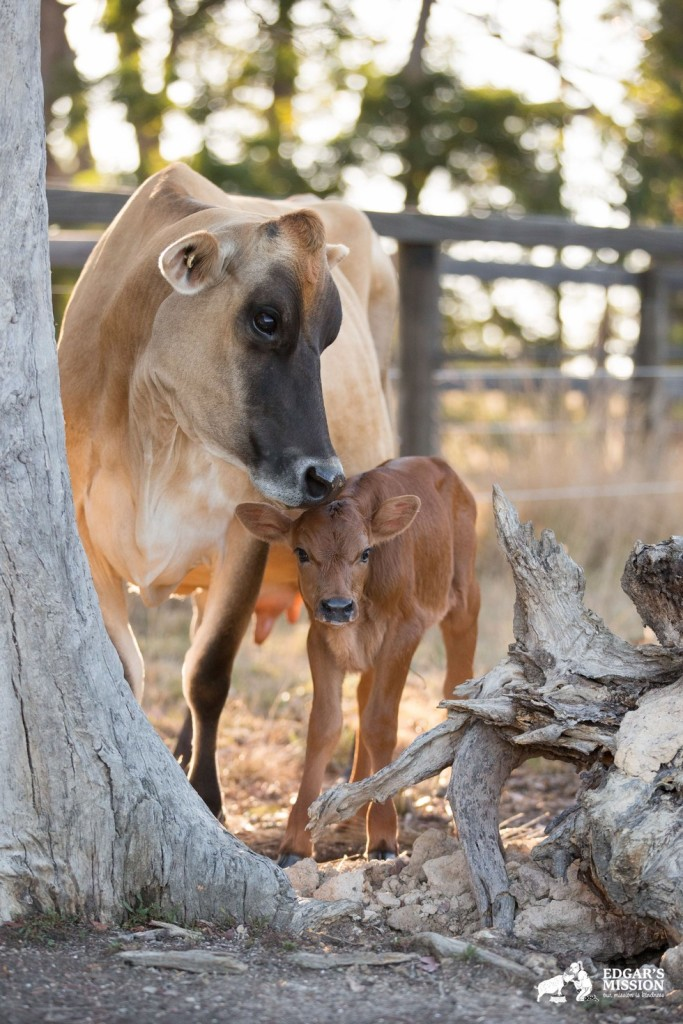 Clarabelle-mother-cow-5