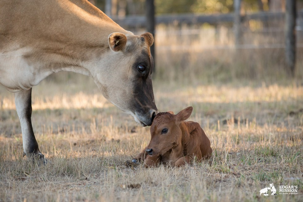 Clarabelle-mother-cow-6