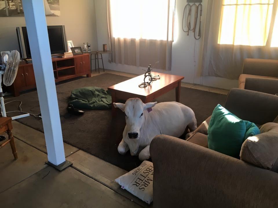 cow-beryl-sneaks-home-2