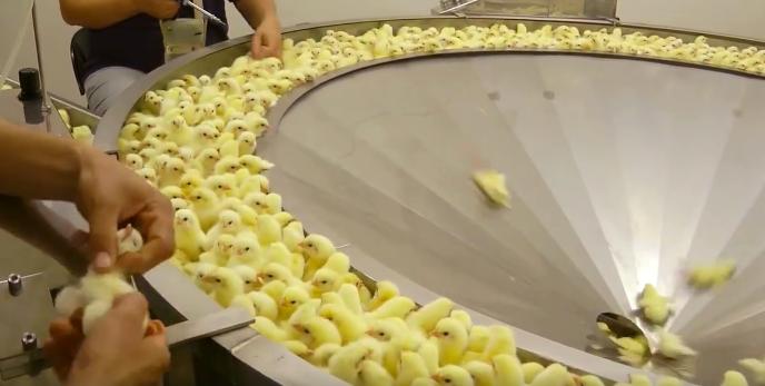 chicken-industry-21