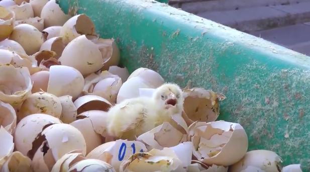 chicken-industry-4