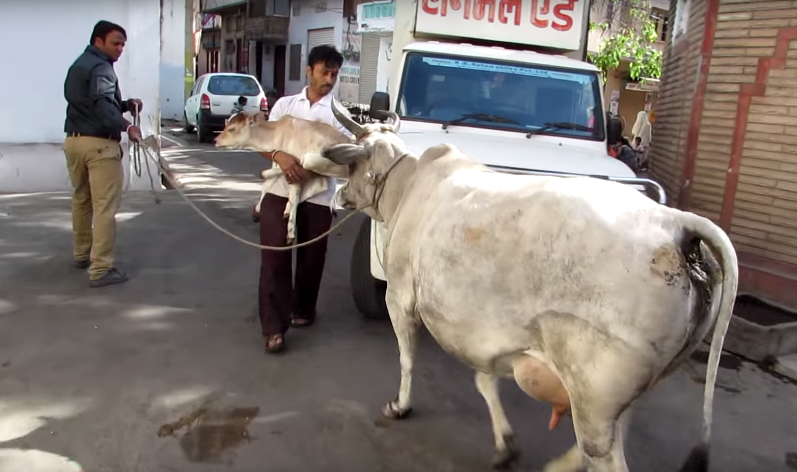 injured-baby-cow-3