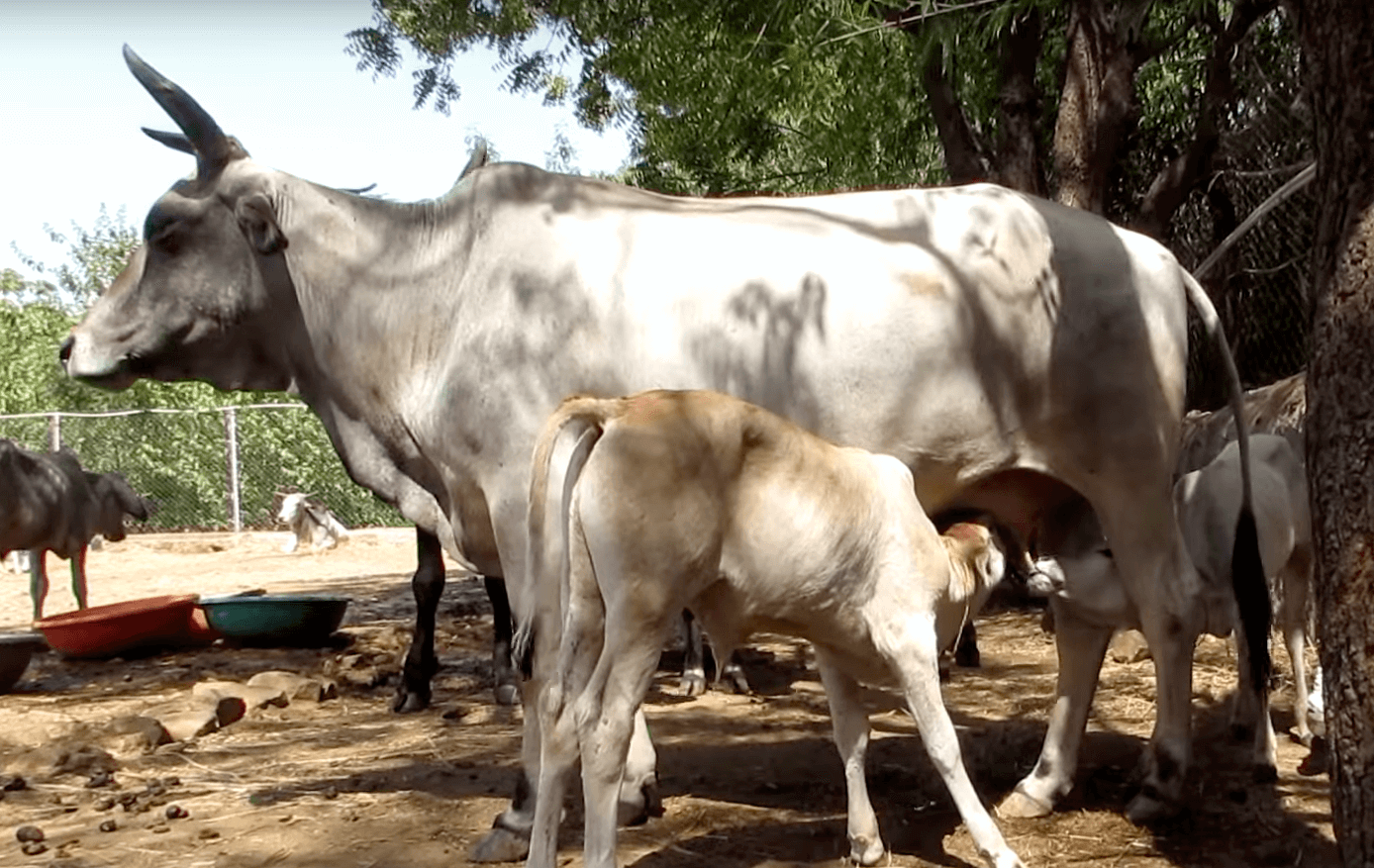 injured-baby-cow-7