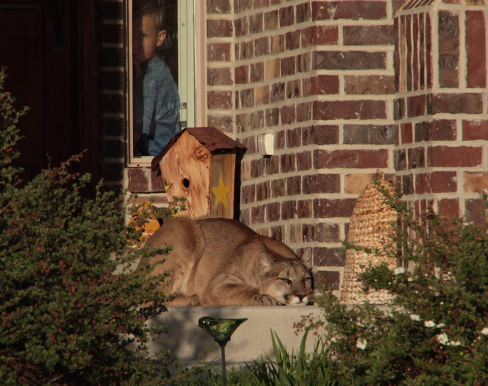 mountain-lion-porch-1