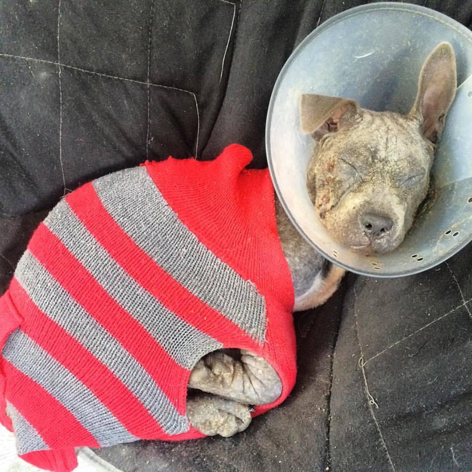 dempsey-pitbull-rescue-1