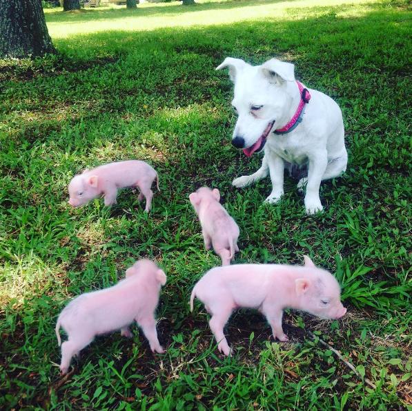dog-mother-piglets-5