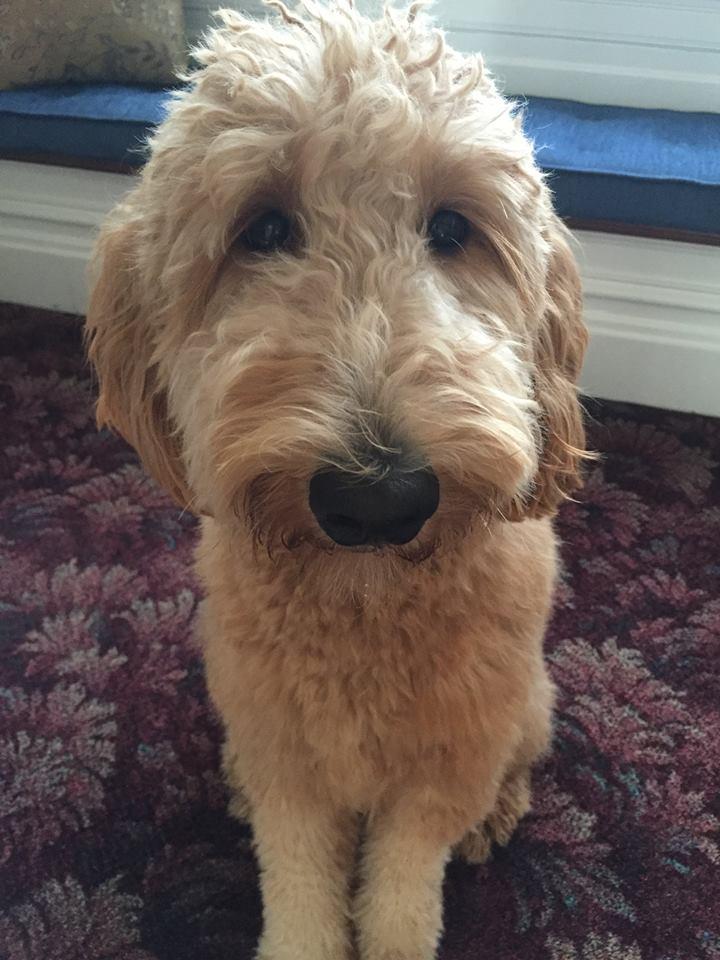 lulu-therapy-dog-7