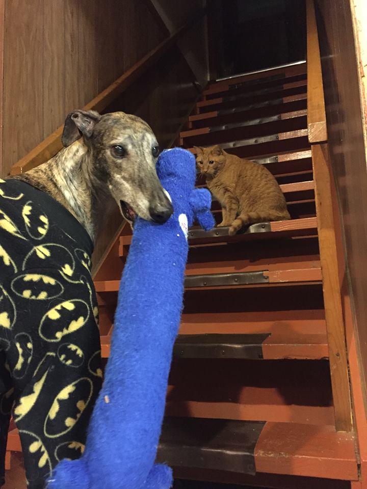 mosley-greyhound-rescue-3