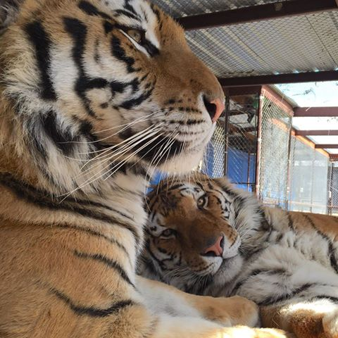 aasha-tiger-recovery-5