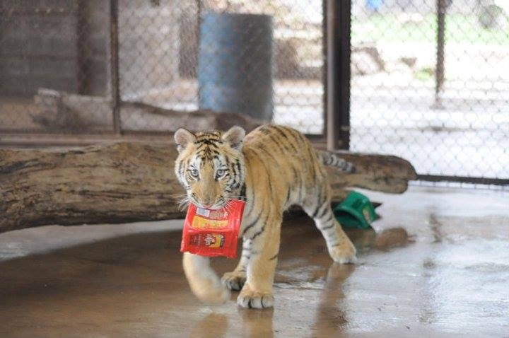 aasha-tiger-recovery-7