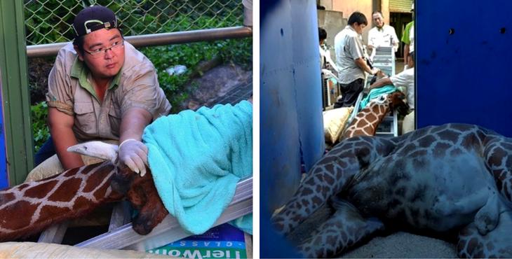 girafe-morte-zoo-taipei-1