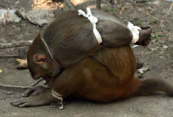 monkey-bound-india-2