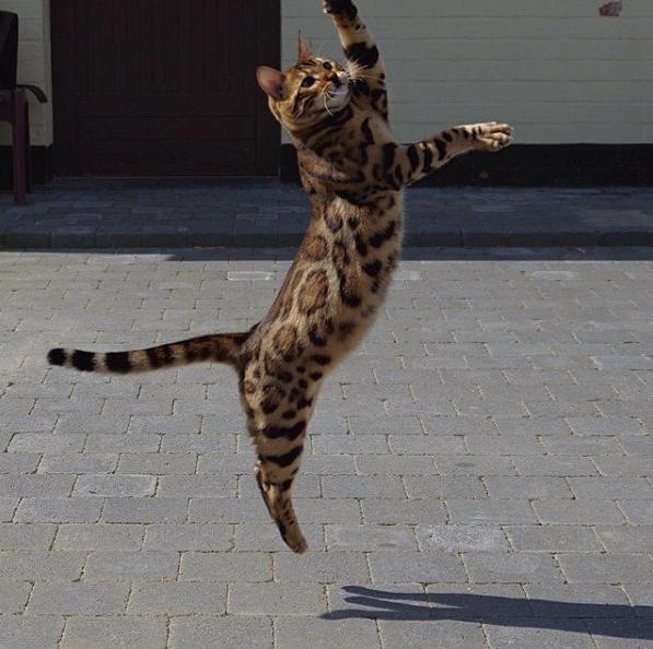 thor-bengal-cat-2