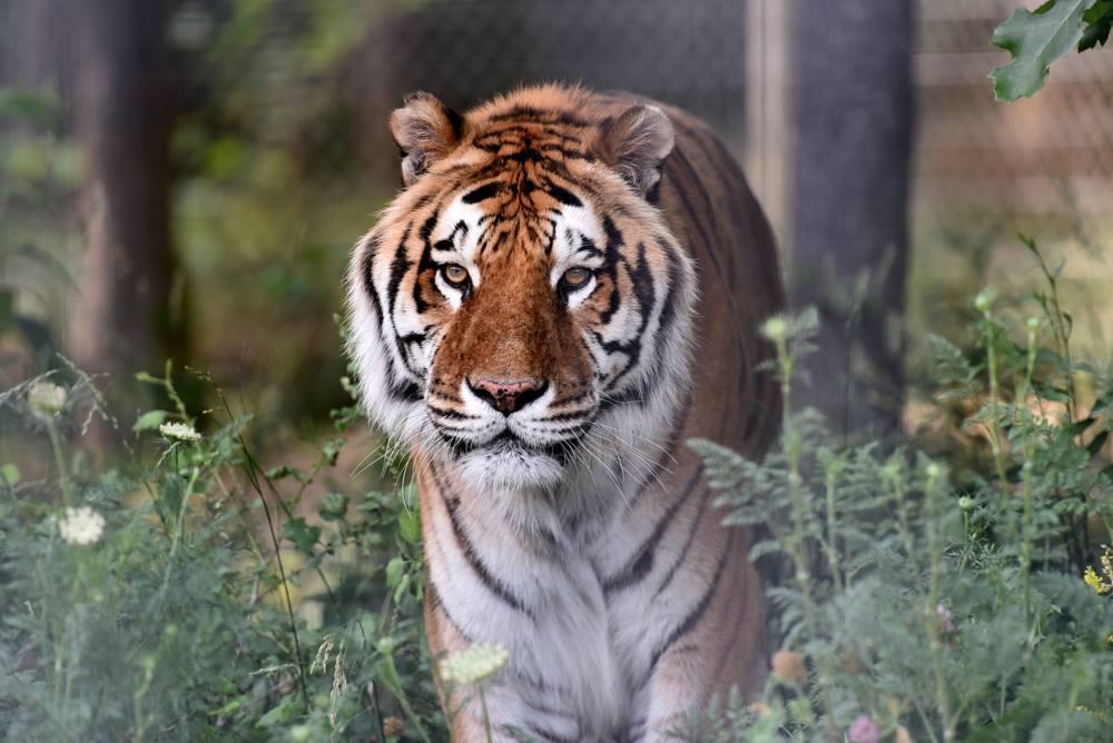TAZ-tiger-1