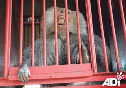 baboon-circus-tilin-6