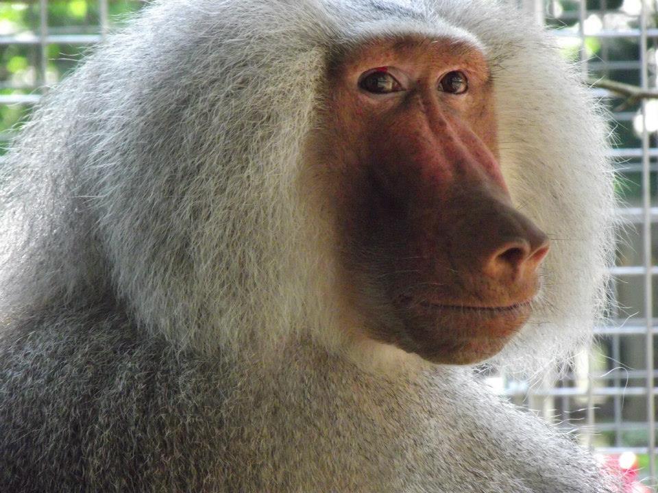 baboon-tilin-circus-1