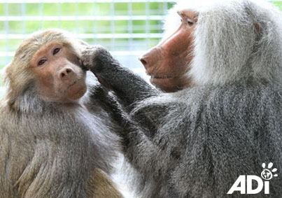 baboon-tilin-circus-2