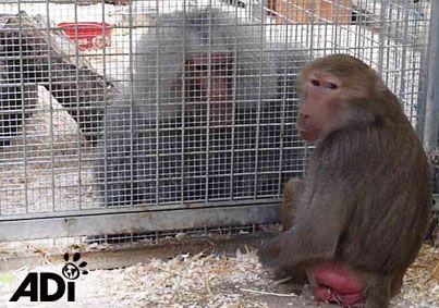 baboon-tilin-circus-3