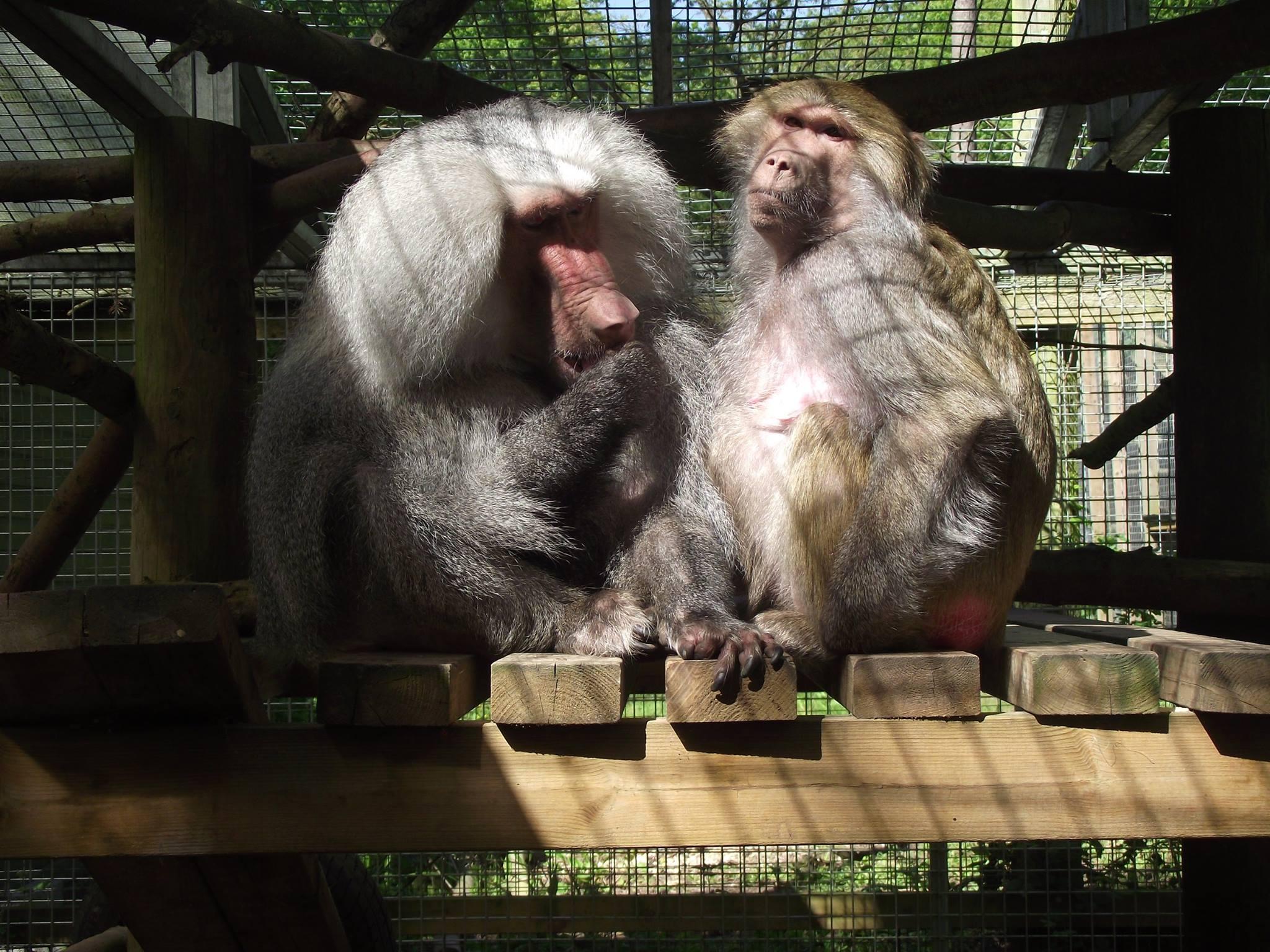 baboon-tilin-circus-4