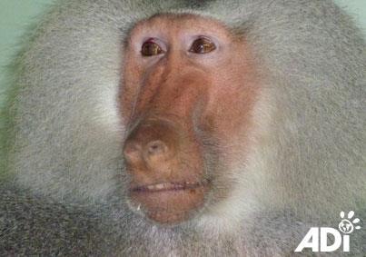baboon-tilin-circus-8