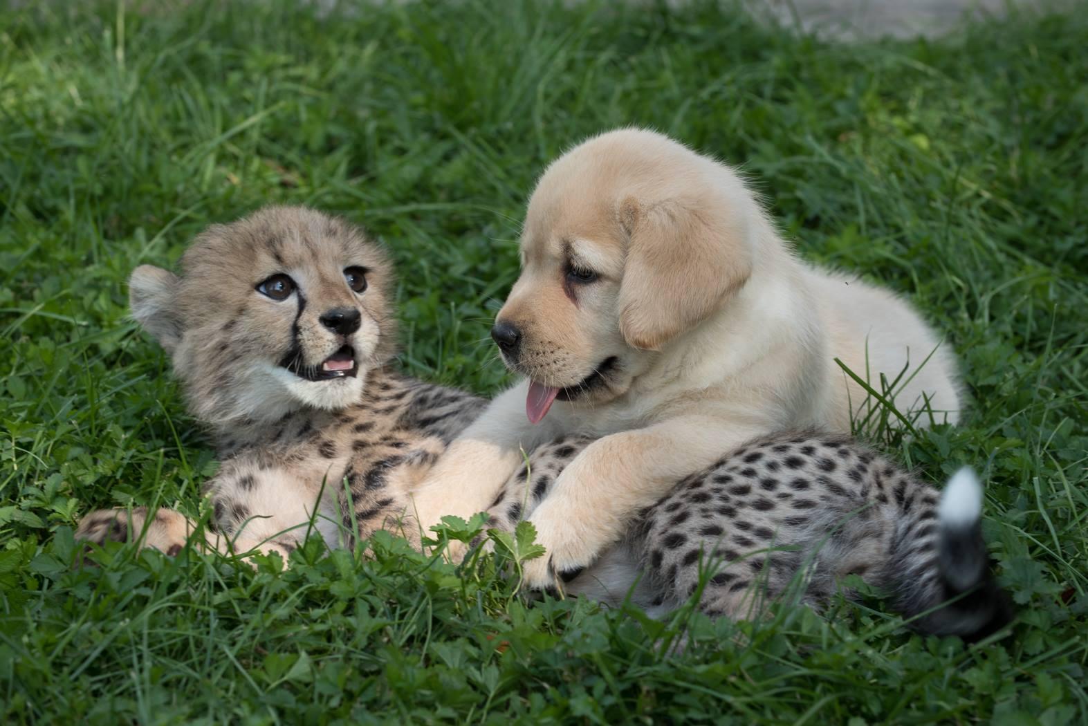 cheetah-puppy-bff-1