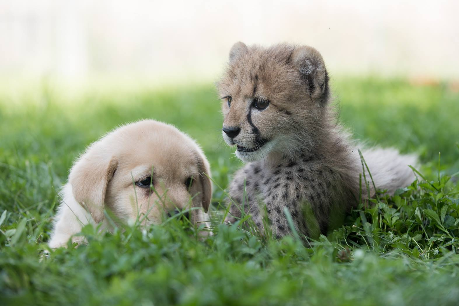 cheetah-puppy-bff-3