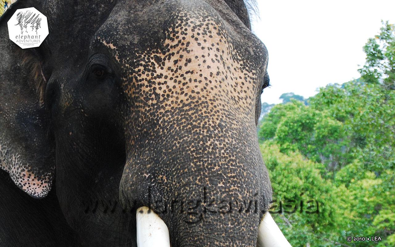 elephant-lasah-malaysia-4