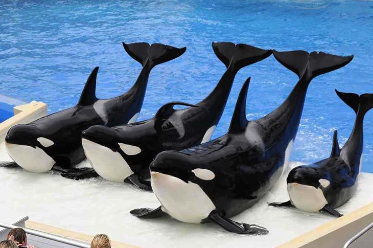 orca-breeding-ban-2