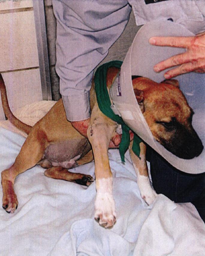 pitbull-luke-rescue-3