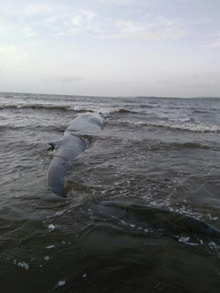 stranded-whale-2