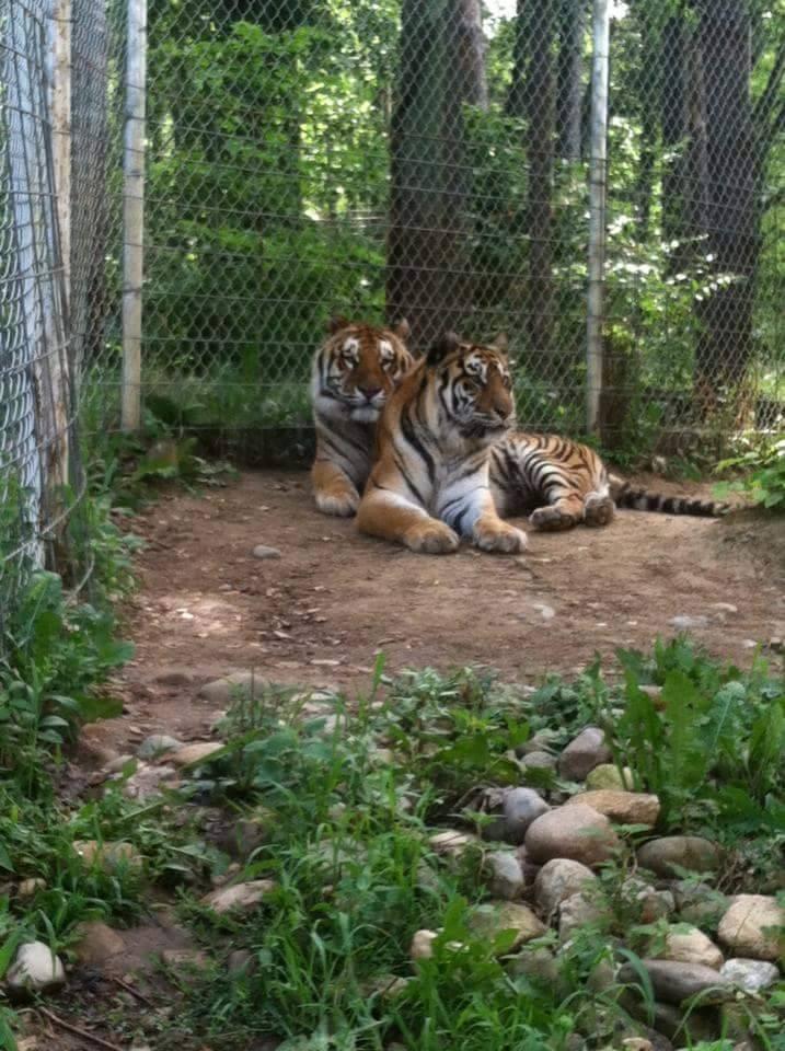 taz-ticha-tigers-4
