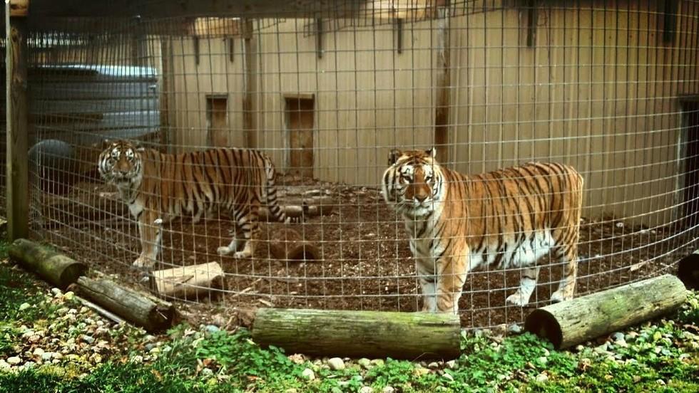taz-ticha-tigers-5